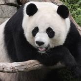 Giant Panda Keeper Diaries