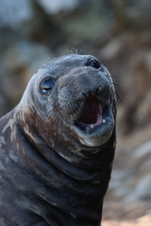 Northern Elephant Seals (Mirounga Angustirostris) of Point Reyes National Seashore, Doreen Gurrola