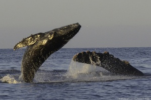 When Whales Win, Everyone Wins: How a Whale Study in Mexico Transformed a Community