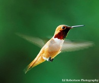 Hummingbird Homecoming