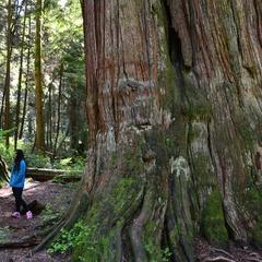 Big Tree Weekend: Tour the Giants I