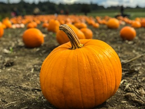 Fall Fun At Knox's Pumpkin Farm