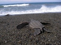 "Scott Benson ""Leatherback sea turtles in the California Current: Why leatherbacks cross the Pacific"""