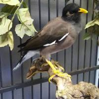 Spotlight on Myna Birds!
