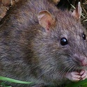 What's up With Rodents