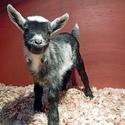 Beacon Hill Children's Farm & Goat Stampede