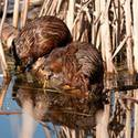 Busy Beavers (Guided Walk)