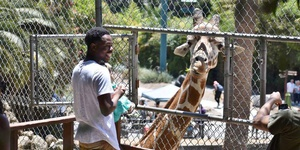 Feed a Giraffe at Oakland Zoo and Save Giraffes in the Wild