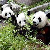 Giant Panda Farewell Speaker Series Giant Panda Keeper Diaries