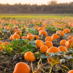 Family Day At Plumper Pumpkin Patch