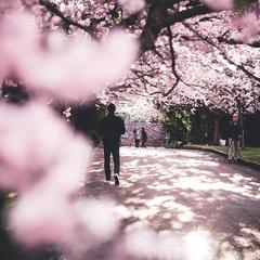 Seattle Cherry Blossom Festival