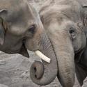 Pub Talk: Living with Elephants