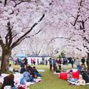 Cherry Blossom FestivalVancouver