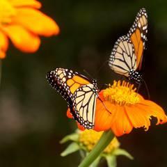 Butterfly Talk: Amazing Monarchs