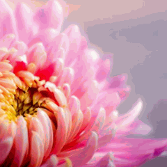 Early Chrysanthemum Sale