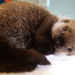 Sea Otter Awareness Week at the Vancouver Aquarium