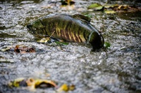 Piper's Creek Salmon Watching