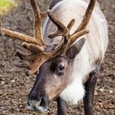 Reindeer Visit BADM