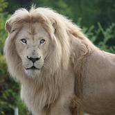 World Lion Weekend at the Toronto Zoo