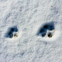 Stories in the Snow: Identifying Animal Tracks with Jim Critchley