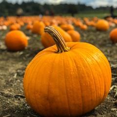 Fall Fun At Knox's Pumpkin Farm