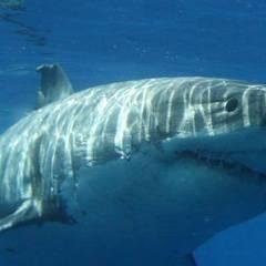 Shark Stewards - An Impact Speaker Series