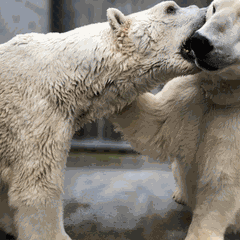 Chillin' with Polar Bears