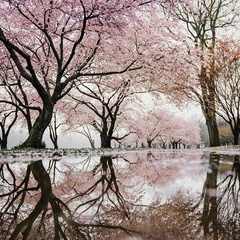 Cherry Blossom Fest 2019