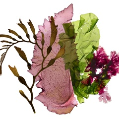 Seaweed Soiree! an adult evening of seaweed, science, and art