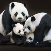 Giant pandas are coming!