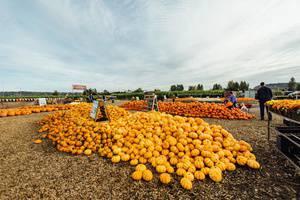 Carpinito Brothers Pumpkin Patch & Corn Maze