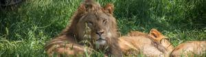 Lion Appreciation Day