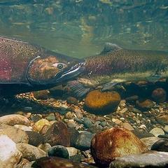 Fledglings & Friends Story Time November: Salmon