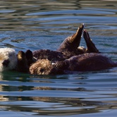 """Dr. Shawn Johnson: """"Not Just Seizing Sea Lions: How Domoic Acid is Impacting Southern Sea Otters"""""""