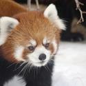 Red Panda-monium!